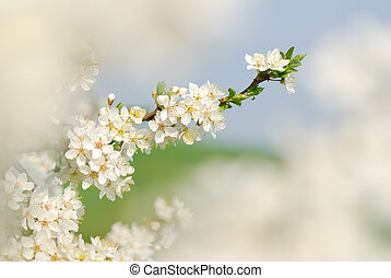 White blossoms of a blooming tree in springtime