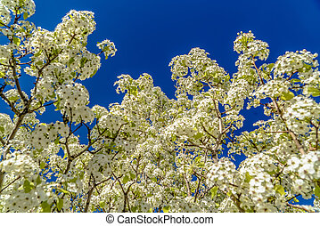 White blossoms of a flowering tree blooming under sunlight in spring