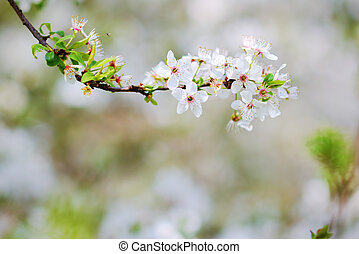 White blossoms of an apple tree in spring