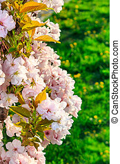 White blossoms of apple on a background of green grass -...