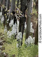 Ornithogalum nutans - White blossoms of Ornithogalum nutans...