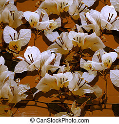 White bougainvillea on mustard painted wall