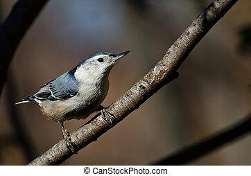 White-Breasted Nuthatch Perched in a Tree