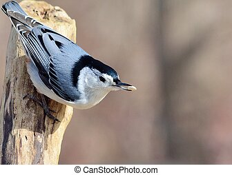 White-breasted Nuthatch perched on a tree branch.