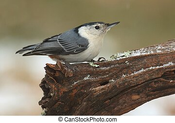 White-breasted Nuthatch (sitta carolinensis) in snow -...