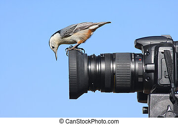 White-breasted Nuthatch (sitta carolinensis) on a camera lens