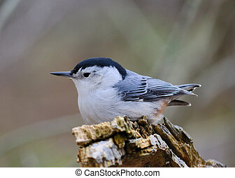 White-breasted nuthatch perched on tree stump.