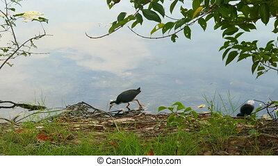 White-breasted Waterhen bird and her nestling (Amaurornis...