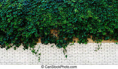 white brick wall with green Ivy
