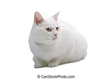 white British short hair cat on white background