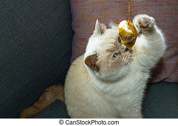White british shorthair cat trying to catch a toy mouse