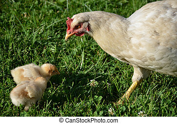 White broody hen is taking care of young chicks.