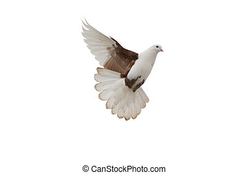 white-brown pigeon isolated on white background with clipping-path