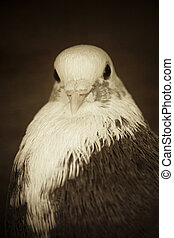 white brown pigeon
