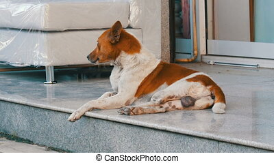 White-brown stray dog lies on the street of a furniture...