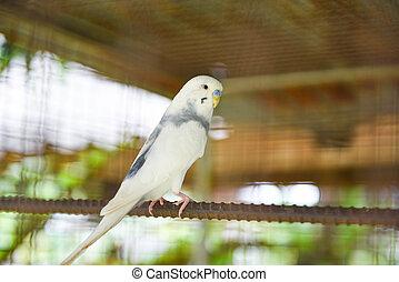 White budgie parrot pet bird or budgerigar parakeet common in the cage bird farm