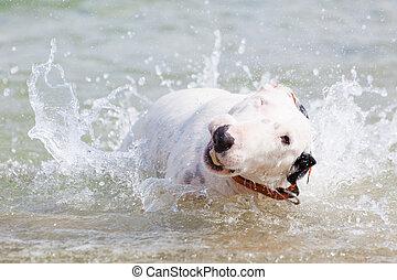 White bull terrier dog.