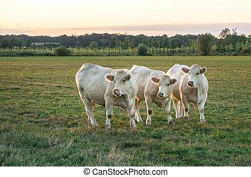 White bulls grazing in green meadow when the sun goes down in Bourgogne. France, Burgundy.