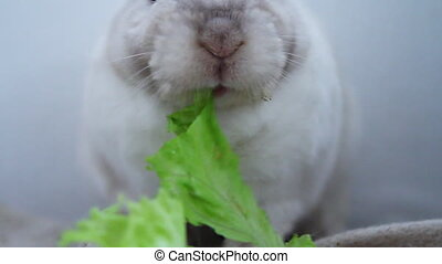 Little and cute, white bunny eats salad leaves at home.