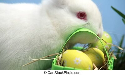 White bunny rabbit sniffing a basket of easter eggs in the...