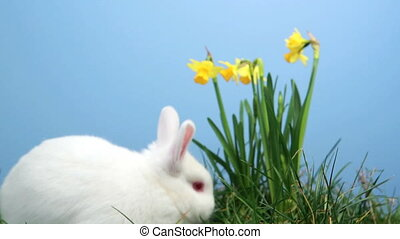 White bunny rabbit sniffing around the grass with daffodils...
