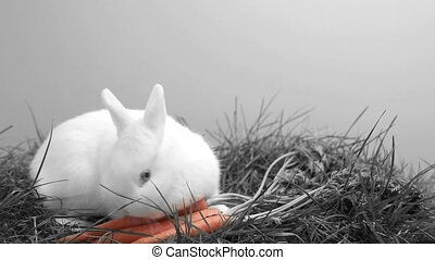 White bunny rabbit sniffing around the grass and a carrot in...