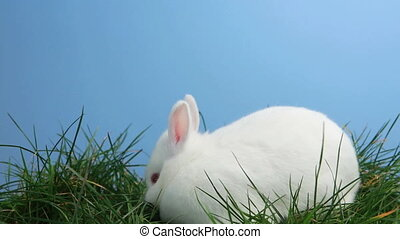 White bunny rabbit sniffing around the grass on blue...