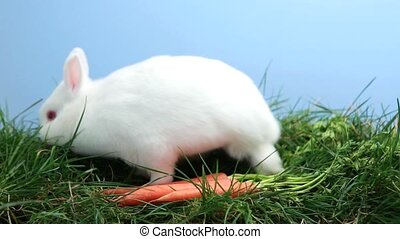 White bunny rabbit sniffing around the grass with some...