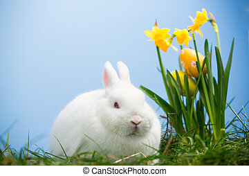 White bunny sitting beside easter eggs resting in daffodils...