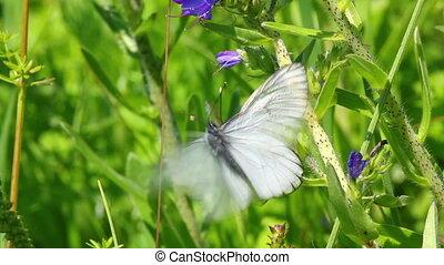 white butterflies copulate on flower - aporia crataegi