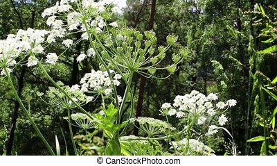 White butterflies fly around flowering plants