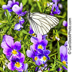 White butterfly (Aporia crataegi) on a purple flowers of violets feeding