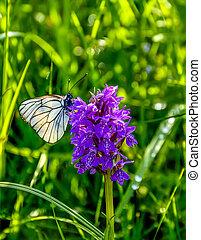 White butterfly Aporia crataegi on purple wild orchid Dactylorhiza majalis flower