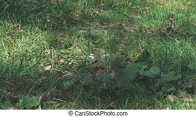 White butterfly cabbage flying over grass - White butterfly...