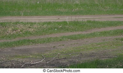 White butterfly cabbage flying over green grass - Two white...