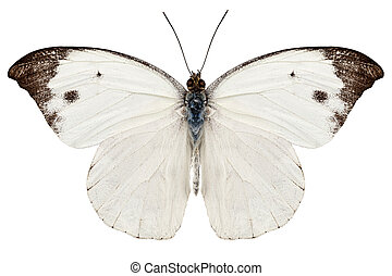 White butterfly from Java in Indonesia isolated on white...