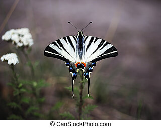 White butterfly machaon close-up top view at the purpel background sitting at beautiful flower