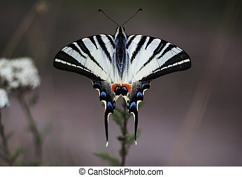 White butterfly machaon close-up top view at the purple background sitting at beautiful flower