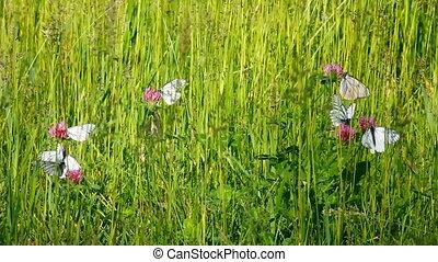white butterfly on clover flowers  - aporia crataegi