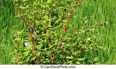 white butterfly on green leaves - aporia crataegi