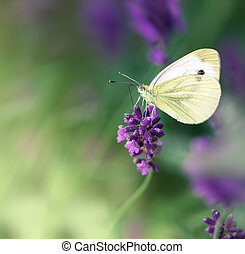 White butterfly on lavender flower, selective focus on white butterfly