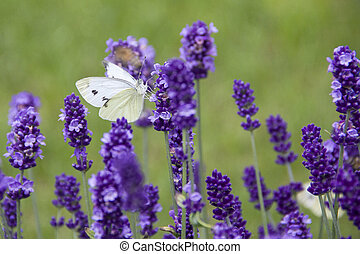 White butterfly on lavender inflorescence on a sunny day