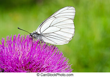 White butterfly on lilac flower