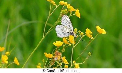 white butterfly on yellow flowers  - aporia crataegi