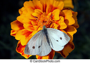 white butterfly sitting on marigold