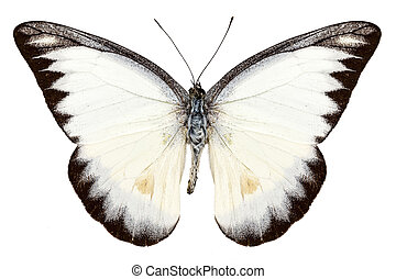 White butterfly species Appias lyncida isolated on white ...