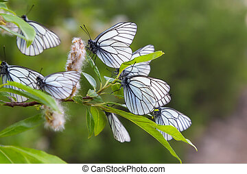 white butterflys on a branch