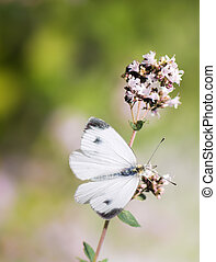 White cabbage butterfly on a flower