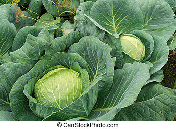 White cabbage growing in the garden, vegetarian healthy food concept, Cabbage background