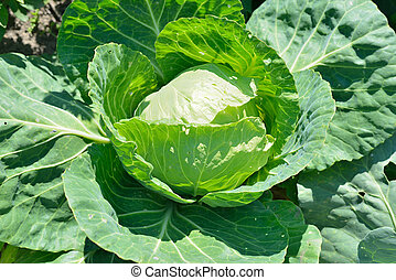 White cabbage head in a field